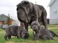Neapolitan Mastiff Puppies for sale in Baltimore, MD, USA. price: NA