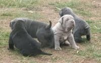 Neapolitan Mastiff Puppies for sale in Beaver Creek, CO 81620, USA. price: NA