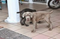 Neapolitan Mastiff Puppies for sale in Murrieta, CA, USA. price: NA