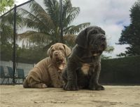 Neapolitan Mastiff Puppies for sale in Los Angeles, CA, USA. price: NA