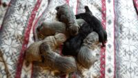 Neapolitan Mastiff Puppies for sale in Marshall, TX, USA. price: NA