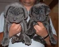 Neapolitan Mastiff Puppies for sale in Berkeley, CA, USA. price: NA
