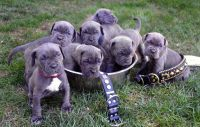 Neapolitan Mastiff Puppies for sale in Niles, MI 49120, USA. price: NA