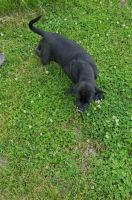 Neapolitan Mastiff Puppies for sale in Miami, FL, USA. price: NA