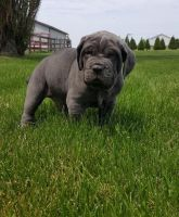 Neapolitan Mastiff Puppies for sale in Atlanta, GA, USA. price: NA