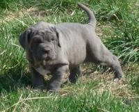 Neapolitan Mastiff Puppies for sale in Dallas, TX, USA. price: NA