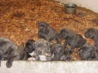 Neapolitan Mastiff Puppies for sale in Chicago, IL, USA. price: NA