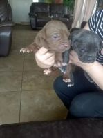 Neapolitan Mastiff Puppies for sale in Alexandria, LA, USA. price: NA