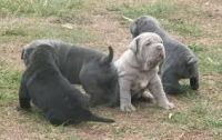 Neapolitan Mastiff Puppies for sale in Jacksonville, FL, USA. price: NA