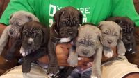 Neapolitan Mastiff Puppies for sale in 5524 Norway Ave, Birmingham, AL 35224, USA. price: NA