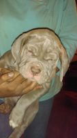 Neapolitan Mastiff Puppies for sale in Sidney, OH 45365, USA. price: NA