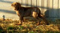 Neapolitan Mastiff Puppies for sale in Phoenix, AZ, USA. price: NA