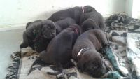 Neapolitan Mastiff Puppies for sale in Spring Hill, FL, USA. price: NA