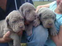 Neapolitan Mastiff Puppies for sale in California St, San Francisco, CA, USA. price: NA