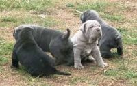 Neapolitan Mastiff Puppies for sale in Texas Ave, Houston, TX, USA. price: NA