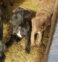 Neapolitan Mastiff Puppies for sale in Los Angeles, CA 90037, USA. price: NA