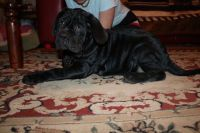 Neapolitan Mastiff Puppies for sale in Houston, TX, USA. price: NA
