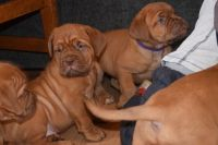 Neapolitan Mastiff Puppies for sale in Florida City, FL, USA. price: NA