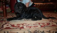 Neapolitan Mastiff Puppies for sale in St. Louis, MO, USA. price: NA