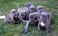 Neapolitan Mastiff Puppies for sale in 58503 Rd 225, North Fork, CA 93643, USA. price: NA