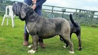 Neapolitan Mastiff Puppies for sale in Austin, TX, USA. price: NA