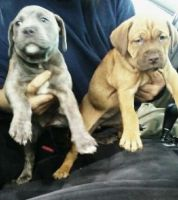Neapolitan Mastiff Puppies for sale in Merrillville, IN, USA. price: NA