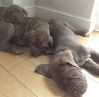 Neapolitan Mastiff Puppies for sale in Nashville, TN 37246, USA. price: NA