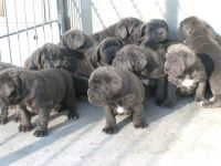 Neapolitan Mastiff Puppies for sale in Indianapolis Blvd, Hammond, IN, USA. price: NA