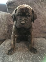 Neapolitan Mastiff Puppies for sale in 103 Broadway, New York, NY 10025, USA. price: NA