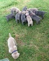 Neapolitan Mastiff Puppies for sale in Calhoun Rd, Houston, TX, USA. price: NA