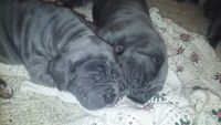 Neapolitan Mastiff Puppies for sale in Petersburg, PA, USA. price: NA