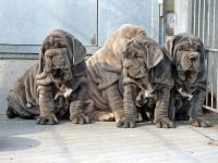 Neapolitan Mastiff Puppies for sale in Philadelphia, PA 19130, USA. price: NA