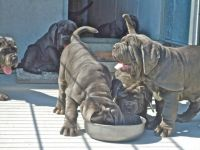 Neapolitan Mastiff Puppies for sale in Boston, MA, USA. price: NA