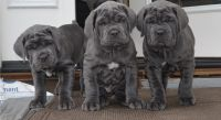 Neapolitan Mastiff Puppies for sale in San Jose, CA, USA. price: NA