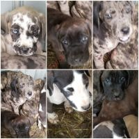 Neapolitan Mastiff Puppies for sale in Finland, MN 55603, USA. price: NA