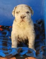 Neapolitan Mastiff Puppies for sale in Litchfield, MN 55355, USA. price: NA
