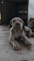 Neapolitan Mastiff Puppies for sale in Fontana, CA, USA. price: NA