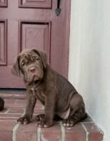 Neapolitan Mastiff Puppies for sale in Bellflower, CA 90706, USA. price: NA