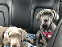 Neapolitan Mastiff Puppies for sale in 216 W Ingram Ct, Norfolk, VA 23505, USA. price: NA