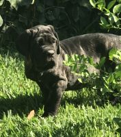 Neapolitan Mastiff Puppies for sale in San Bernardino, CA, USA. price: NA