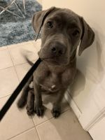 Neapolitan Mastiff Puppies for sale in South Ozone Park, Queens, NY, USA. price: NA