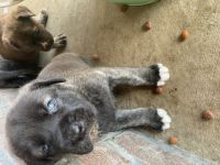 Neapolitan Mastiff Puppies for sale in Jacksonville, AR, USA. price: NA
