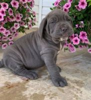 Neapolitan Mastiff Puppies for sale in Helena, MT, USA. price: NA
