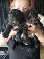 Neapolitan Mastiff Puppies Photos