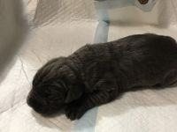 Neapolitan Mastiff Puppies for sale in Fort Wayne, IN, USA. price: NA