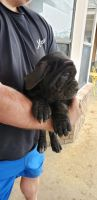 Neapolitan Mastiff Puppies for sale in Eufaula, OK 74432, USA. price: NA