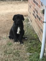 Neapolitan Mastiff Puppies for sale in Little Rock, AR, USA. price: NA
