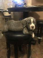 Neapolitan Mastiff Puppies for sale in Cleveland, OH, USA. price: NA