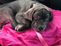 Neapolitan Mastiff Puppies for sale in West Babylon, NY, USA. price: NA