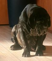 Neapolitan Mastiff Puppies for sale in Memphis, TN, USA. price: NA